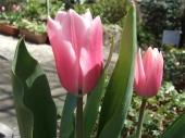 チューリップ,花,お正月花,