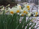 水仙,お正月,お正月花,デュボンタン